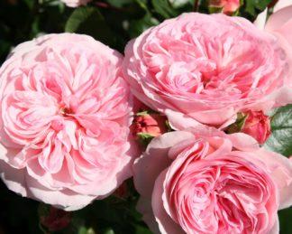 rózsa mariatheresia