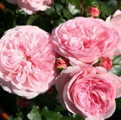 Mariatheresia rózsaszín nosztalgia ágyás rózsa
