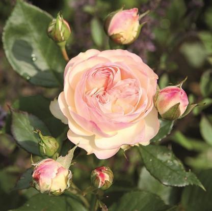 Pastella halvány rózsaszín floribunda ágyás rózsa