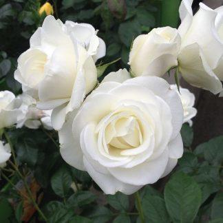Schneekönigin fehér talajtakaró rózsa