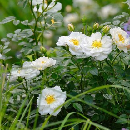 Bienenweide weiss - fehér miniatűr rózsa