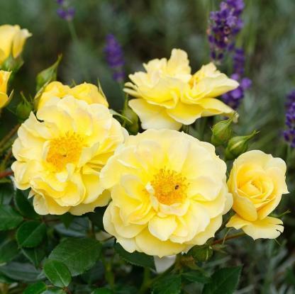 Bienenweide gelb sárga miniatűr rózsa, méhbarát