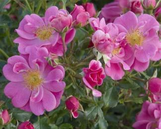 rosa_Bienenweide-rosa