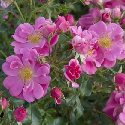 Bienenweide rosa rózsaszín miniatűr rózsa, folyamatosan és dúsan virágzó, méhbarát