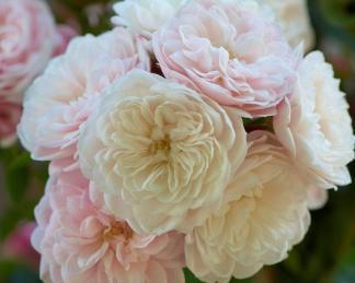 rosa alina