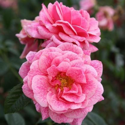 Camelot rózsaszín futórózsa