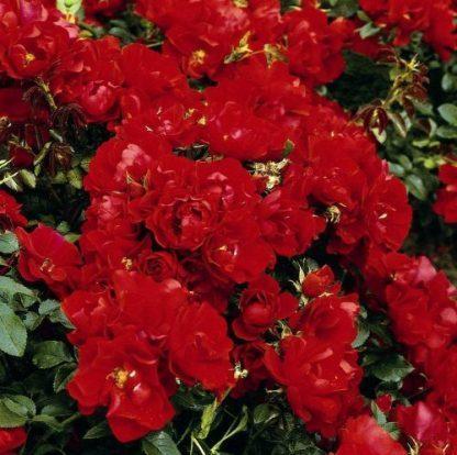 Centro - piros talajtakaró rózsa