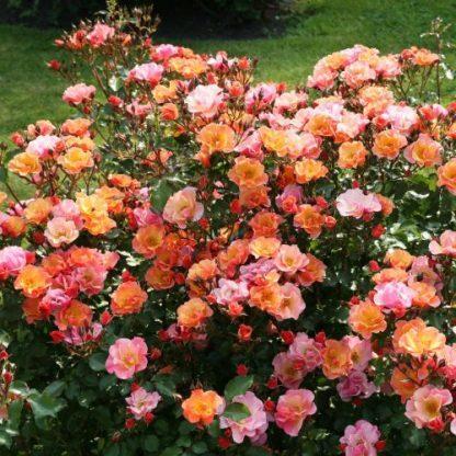 Jazz - narancssárga talajtakaró rózsa