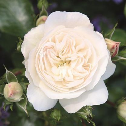 Kastelruther Spatzen - fehér talajtakaró rózsa