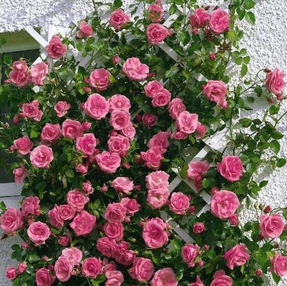 Lawinia - rózsaszín futórózsa
