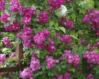 rózsa perennial blue