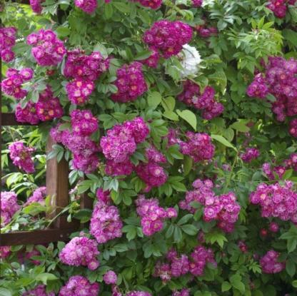 Perennial Blue lilás rózsaszín futórózsa, ADR minősített