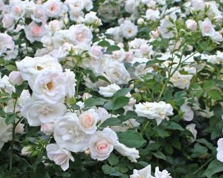rosa sirius