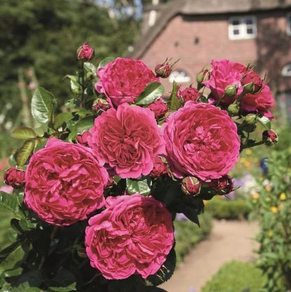 Soul - bordós lila nosztalgia bokorrózsa