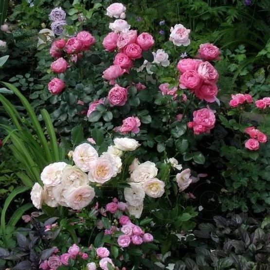 Rózsa mint évelőhelyettesítő? 1