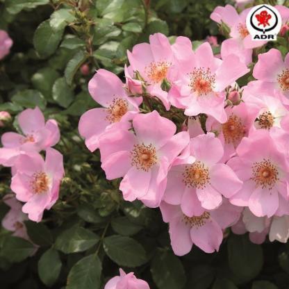 Sweet Haze - rózsaszín talajtakaró rózsa