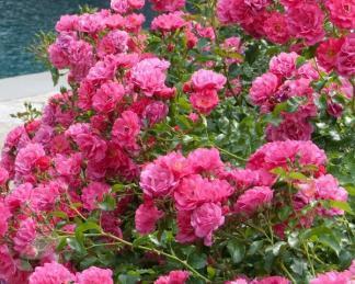 Talajtakaró rózsák