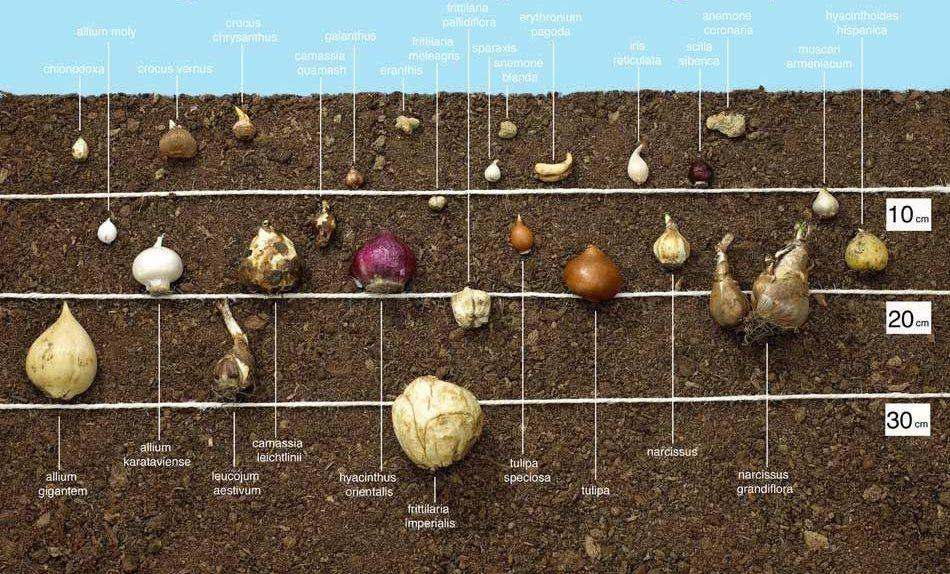 virághagymák ültetési mélység táblázat