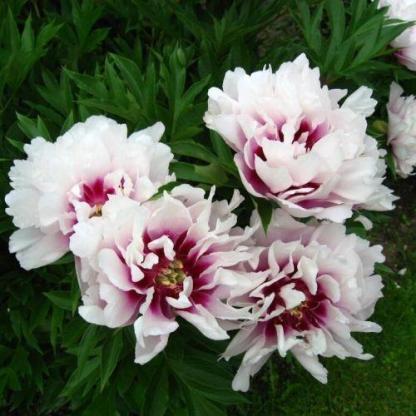 Paeonia Itoh 'Rosy Prospects' - Itoh bazsarózsa hibrid