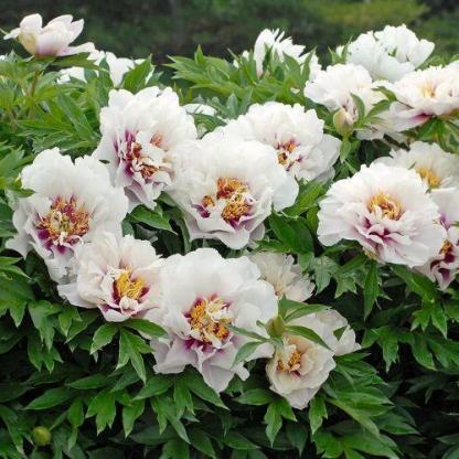 Paeonia Itoh 'Cora Louise' - Itoh bazsarózsa hibrid 1 A <strong>Paeonia Itoh 'Cora Louise' - Itoh bazsarózsa hibrid</strong> kellemesen illatos virágai kívül fehérek, belül rózsaszín-bordó lángokkal és gyönyörű sárga bibékkel díszítettek. <ul> <li><em>Kiszerelés: szabadgyökerű</em></li> </ul>