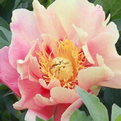 Paeonia Itoh 'Julia Rose' - Itoh bazsarózsa hibrid