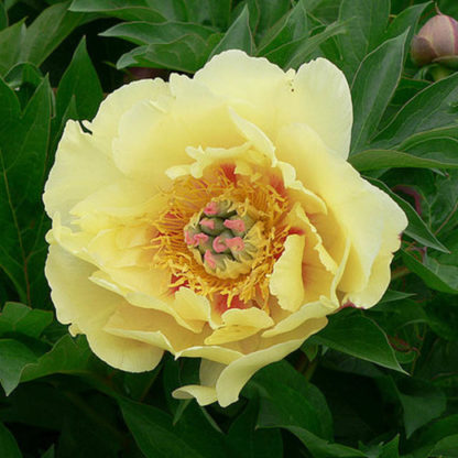paeonia garden pleasure