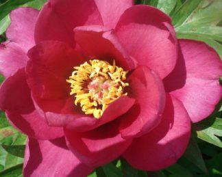 paeonia-pink-ardour