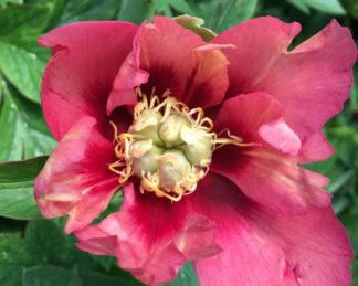paeonia_Old-Rose-Dandy