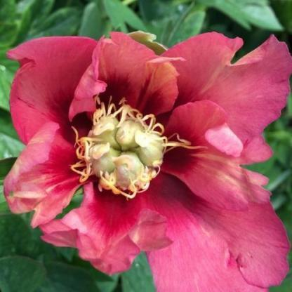 Paeonia Itoh 'Old Rose Dandy' - Itoh bazsarózsa hibrid