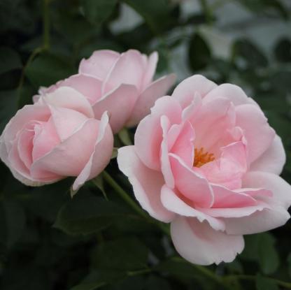 Ballade® – halvány rózsaszín bokorrózsa 1 Rendkívül dúsan virágzó, gyönyörű alacsony halvány rózsaszín bokorrózsa. <em>Kiszerelés: szabadgyökerű, A minőség</em>