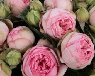 rosa charming piano