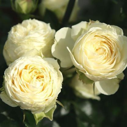 rosa lemon piano