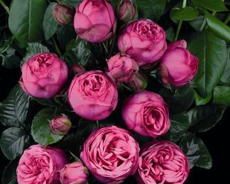 rosa pink piano