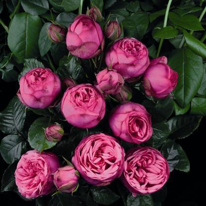 pink piano nosztalgia teahibrid rózsa