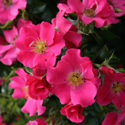 Stadt Rom® – rózsaszín talajtakaró rózsa 1 ADR minősített, többszörös díjnyertes, rendkívül dúsan virágzó, élénk lazac rózsaszín talajtakaró rózsa. <em>Kiszerelés: szabadgyökerű, A minőség</em>