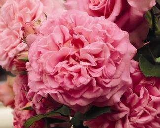 rosa_ashley