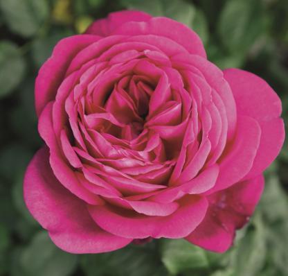 J. W. von Goethe teahibrid rózsa