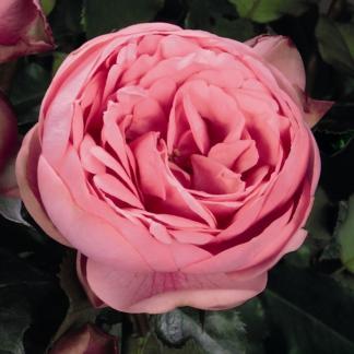 Happy Piano nosztalgia teahibrid rózsa