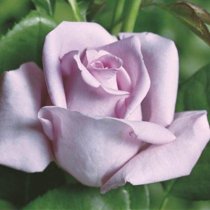Mainzer Fastnacht®(Blue Moon) – levendulakék teahibrid rózsa 1 Rendkívül elegáns ezüstös levendulakék, tömött virágú, elbűvölő illatú teahibrid rózsa. Sokszor virágzik, erőteljes növekedésű. <em>Kiszerelés: szabadgyökerű, A minőség</em>