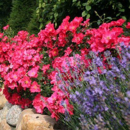Stadt Rom® – rózsaszín talajtakaró rózsa 2 ADR minősített, többszörös díjnyertes, rendkívül dúsan virágzó, élénk lazac rózsaszín talajtakaró rózsa. <em>Kiszerelés: szabadgyökerű, A minőség</em>