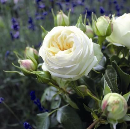 Wedding Piano® – nosztalgia teahibrid rózsa 1 Gyönyörű krémfehér, tömött virágú nosztalgia teahibrid rózsa <em>Kiszerelés: szabadgyökerű, A minőség</em>