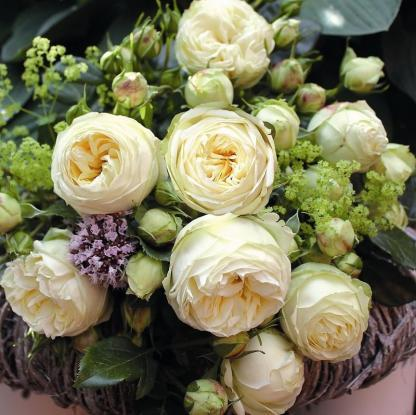 Wedding Piano® – nosztalgia teahibrid rózsa 2 Gyönyörű krémfehér, tömött virágú nosztalgia teahibrid rózsa <em>Kiszerelés: szabadgyökerű, A minőség</em>