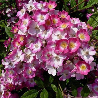 Mozart - halvány rózsaszín vadrózsa