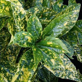 aucuba japonica crotonifolia levél