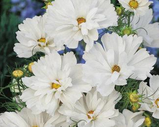 Cosmos bipinnatus 'Psyché White'