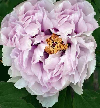 Paeonia suffruticosa 'Lan Bao Shi' - fás szárú bazsarózsa 1 A kínai <strong>Paeonia suffruticosa 'Lan Bao Shi' </strong>különleges színösszeállítású,<strong> fás szárú bazsarózsa</strong>: halvány kék árnyalatú, rózsaszín virágokat hoz. <ul> <li><em>Kiszerelés: szabadgyökerű</em></li> </ul>