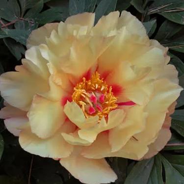 Paeonia Itoh 'Sonoma Apricot' - Itoh bazsarózsa hibrid