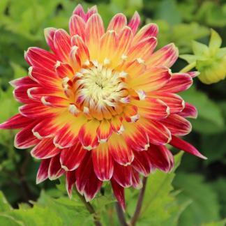 dahlia-akita dekoratzv dália florapont