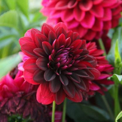 dahlia-arabian-night