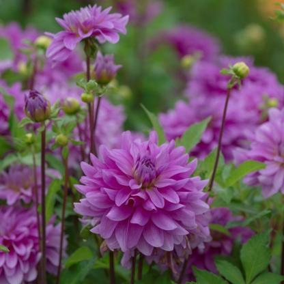 dahlia bluetiful dekoratív dália florapont